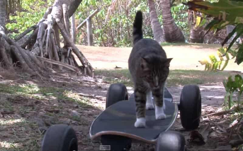 See What This Skateboarding Cat Does