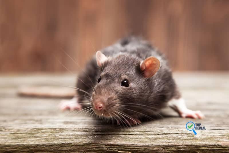 rat infestations in brisbane