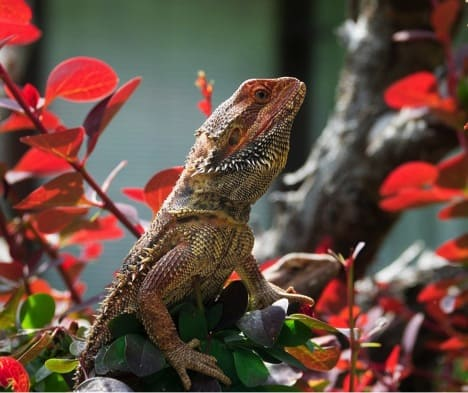 Caring for your Bearded Dragon for Optimum Health