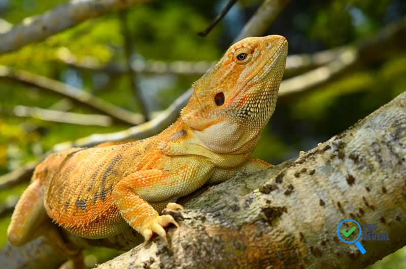 Caring for your Bearded Dragon