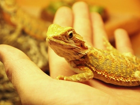Diet of Bearded Dragons