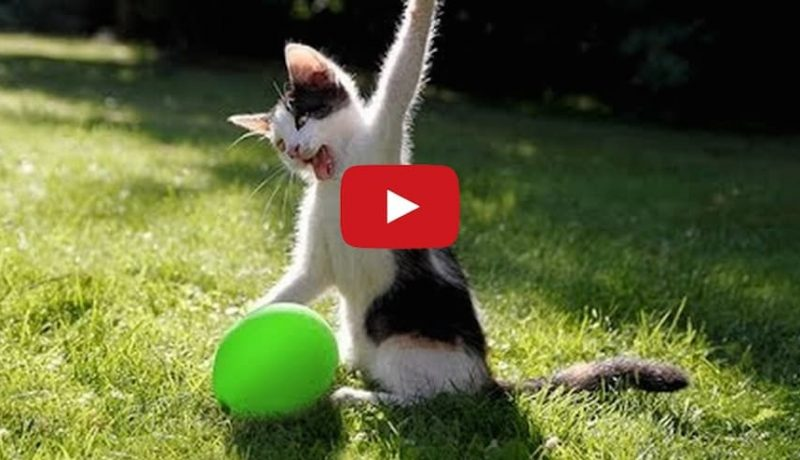 Cats vs Balloon Explosion: The Wildest, Funniest Cat Video Yet!